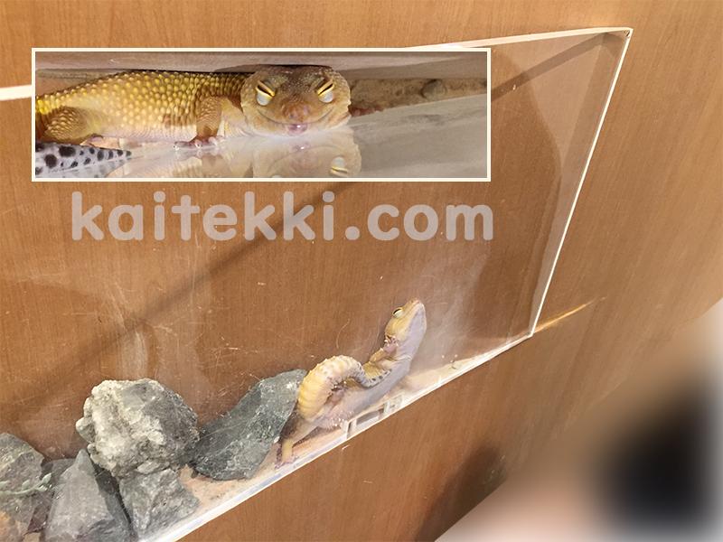 フトアゴヒゲトカゲに侵入されて隅で寝るヒョウモントカゲモドキ