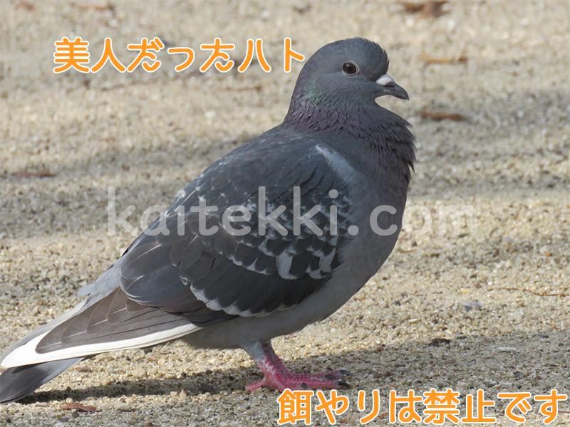 室見川河畔公園で見かけた美人なハト